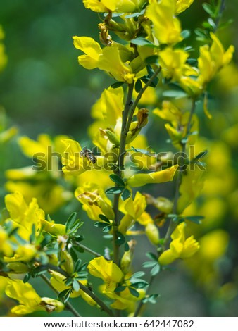 Bee On Yellow Bush Flowers May Stock Photo Edit Now 642447082