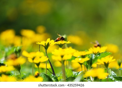 A bee on yellow daisy flower