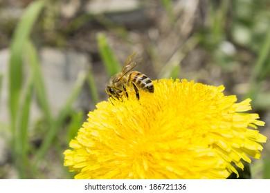 Bee on yellow dandelion flowers