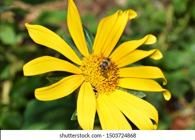 Bee on a yellow flower with a beetle hidden in the flower, africanized bee, killer bee,