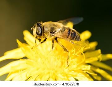 bee on yellow flower, closeup