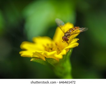 A Bee on a Yellow Flower with Green Background