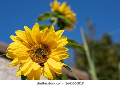 Bee on a yellow sunflower against a blue sky in the summer