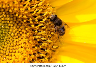 a bee on a yellow sunflower in nature