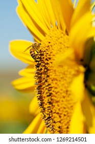 A bee on a yellow sunflower, sharp, in focus, bright yellow sunflower, blue sky