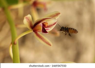 Bee and orchids(Cymbidium aloifolium) in nature.