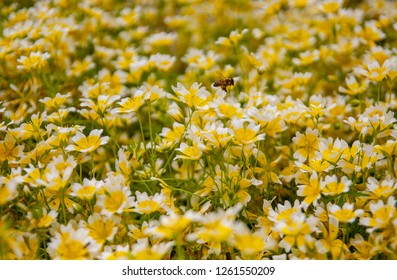 A bee passing a field of yellow flowers