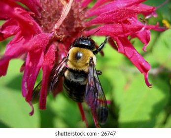 A bee perched on a beebalm.