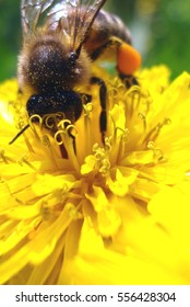 A bee picking up honey on the dandelion flower