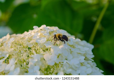 A bee polinates during golden hour on a white flower