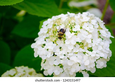A bee polinates on a white flower