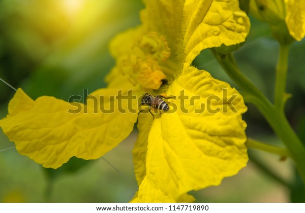 The bee with Pollen Basket on the yellow flower of Sponge gourd, Smooth loofah, Vegetable sponge, Gourd towel (Luffa cylindrica Roem) in the vegetable garden