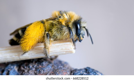 Bee with a lot of pollen on the hairy hind legs