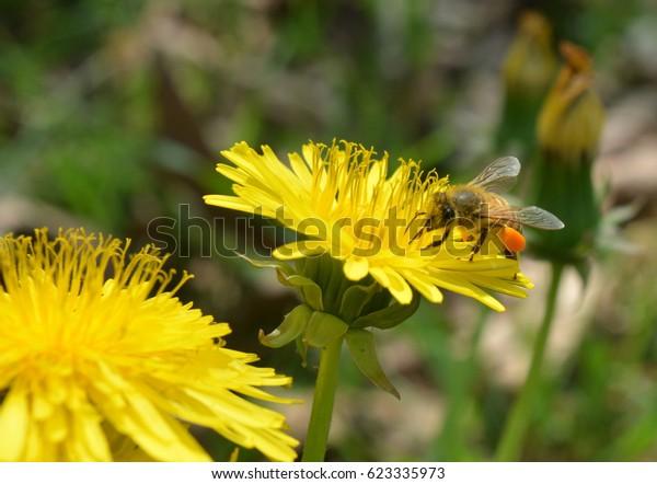 Fiori Gialli Yellow Flowers.Bee Pollen Pocket On Yellow Flower Stock Photo Edit Now 623335973