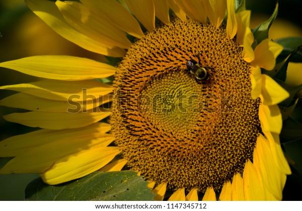 Bee Pollenating Sunflower