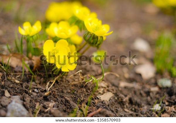 bee pollinates bright spring flower