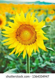 Bee pollinates a flower of a sunflower in the field. Mimicry of insects. Beautiful bright yellow flower in a field of sunflowers