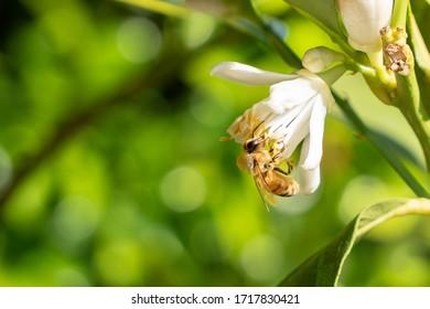 Bee pollinates a lemon blossom