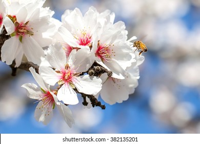 A Bee Pollinating Almond Blossoms in Northern California Orchard