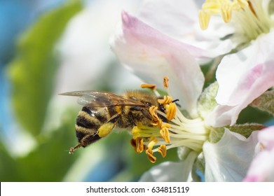 bee pollinating apple blossoms macro