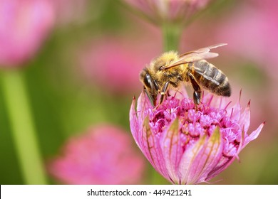 Bee pollinating an astrantia flower