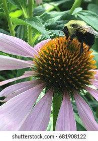 Bee pollinating a cone flower.