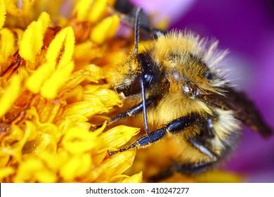 Bee pollinating a dahlia flower