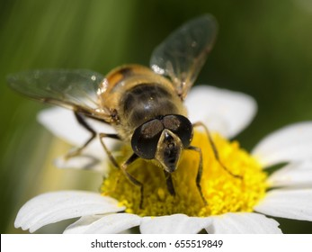 Bee pollinating a daisy flower