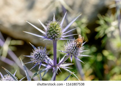 bee pollinating Eryingium Alpinum flowers , shot on a bright summer day at Gressoney Saint Jean,  Lys valley, Aosta, Italy
