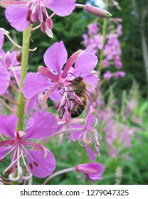 Bee pollinating fireweed