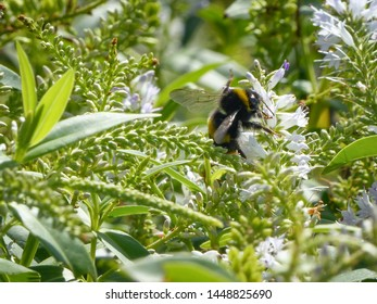 Bee pollinating flowers. Coastal flowers in Autumn in new Zealand.