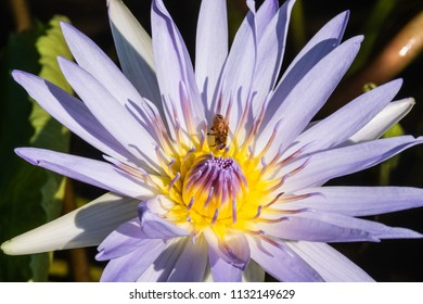 A bee pollinating a lotus flower in a Hawaii lagoon