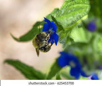Bee pollinating on a blue flower