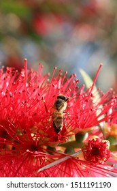A bee pollinating on a red bottleneck flower. Bright colours displaying the energy of spring and how it promotes growth.