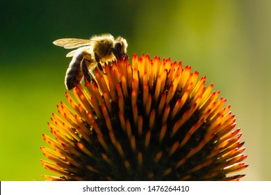 BEE POLLINATING THE ORANGE FLOWER ON BLURRED GREEN NATURAL BACKGROUND