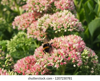 A bee pollinating a pink flower in a park