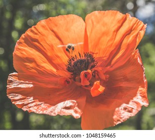 Bee pollinating a poppy flower