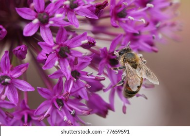A Bee pollinating a purple Allium Flower
