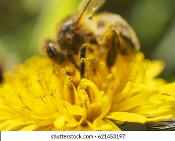 Bee pollinating in spring