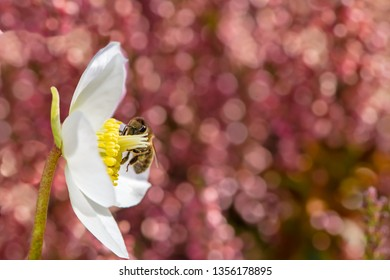 Bee pollinating in the white blossom of a christmas rose flower