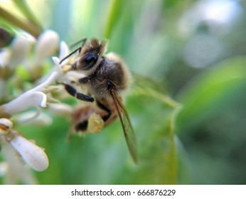 bee pollinating white flowers