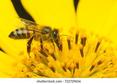 bee pollinating yellow flower - Anthophila