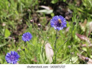 Bee pollination on cornflower in the springtime in meadow, garden and park for natural protection of flora, green background