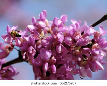Bee pollination of spring blossoming Judas Tree.