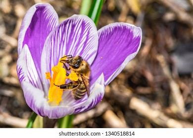 bee and purple crocus