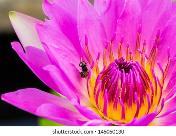 bee in purple water lily or lotus