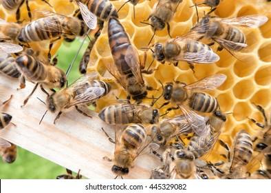 Bee queen in honeybee.