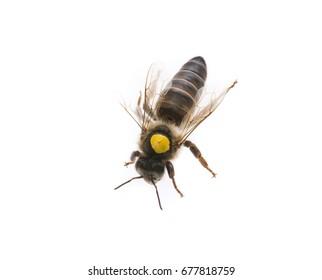 bee queen - mother - apis mellifera