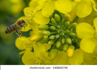 Bee with rape flower in the spring - rapeseed honey - bee collects nectar