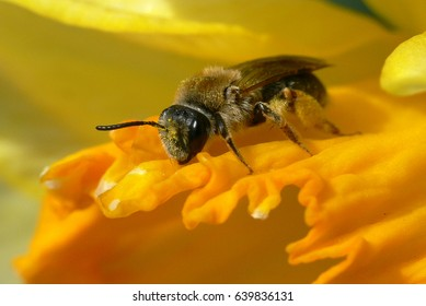 Bee resting on a yellow petal